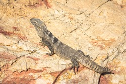 An isolated iguana without part of its tail on the rocks. Close up picture of this reptile related to lizard species in Baja California Sur coast, close to the beach of Cabo San Lucas.