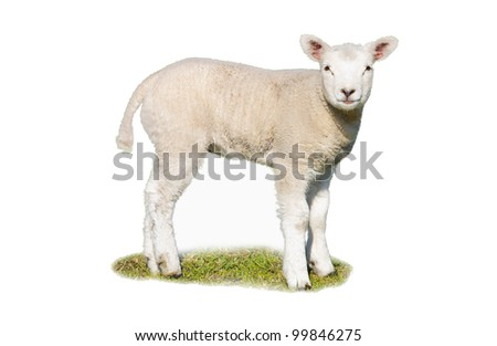 An isolated lamb on a patch of grass