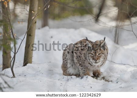 An isolated Lynx in the snow background while looking at you suspicious