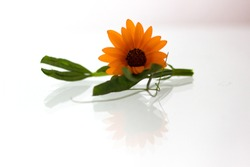 An isolated orange flower with a green stem and leaves against a white background with reflection.