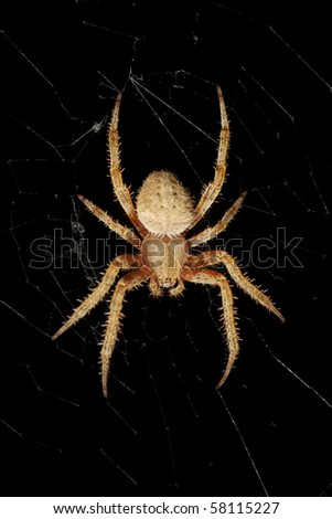 An isolated orb-weaver european garden spider hanging on its web over black