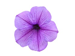 An isolated petunia flower