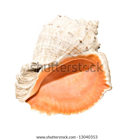An isolated photo of a pink sea shell