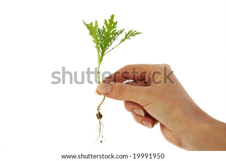 An isolated photo of a plant/weed in fingertips