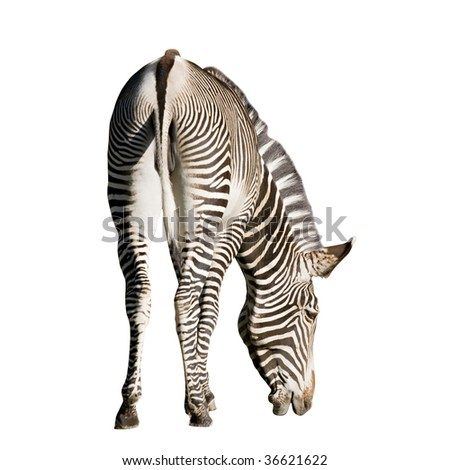 An isolated photo of a zebra on white background - stock photo