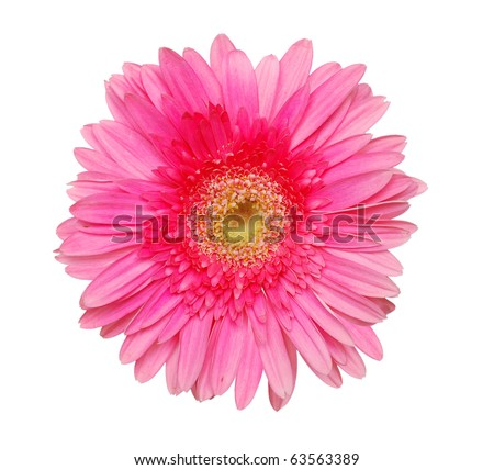 An isolated pink gerbera