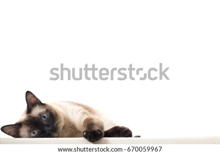 An Isolated Siamese Cat Staring and Lying Down on A White Background #670059967