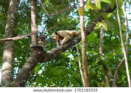 An Monkey in a tree in florest Foto stock ©
