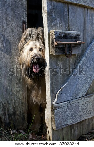 An 18 month old blonde briard dog peeking around a cracked open barn door.