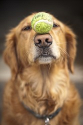 An obedient dog balances a tennis ball on it's nose