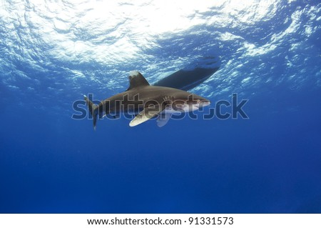 an oceanic white tip shark swims in front of the boat