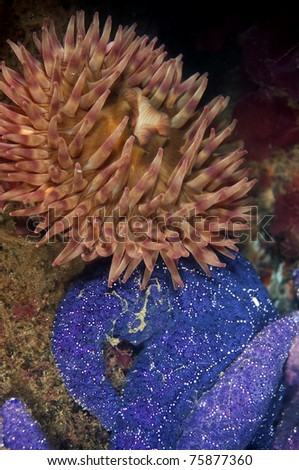 An ochre sea star get cozy with a fish eating anemone.