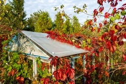 An old abandoned greenhouse, overgrown with red leaves, Summer, blue sky, clouds, trees.