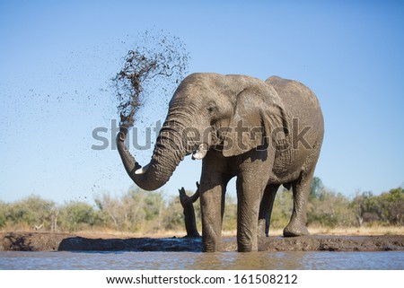 An old African elephant bull spraying itself with mud during a mud bath in Botswana