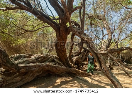 An old algarrobo or carob tree in the Bosque de Pomac Historic Sanctuary in the Lambayeque Region, Ferreñafe Province, Pitipo District of Peru. Known as a millenary tree, it is 500 to 1000 years old. Foto stock ©