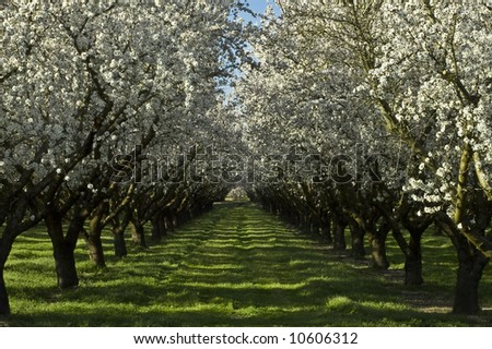 An old almond orchard in bloom.