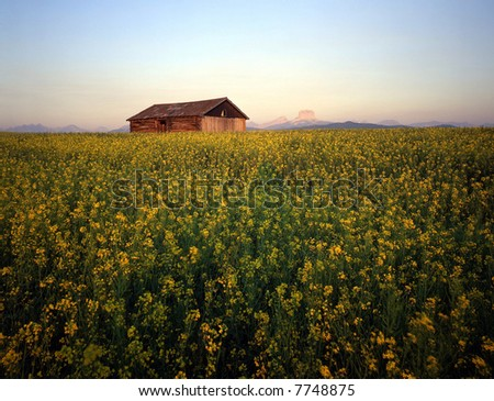 An old barn in a field of canola.