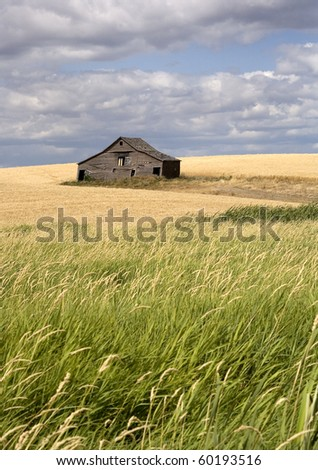 An old barn sits in a field filled with crops in the palouse region of eastern Washington.