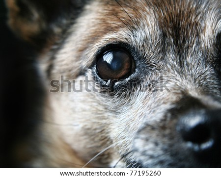 an old chihuahua eye with a tear in it