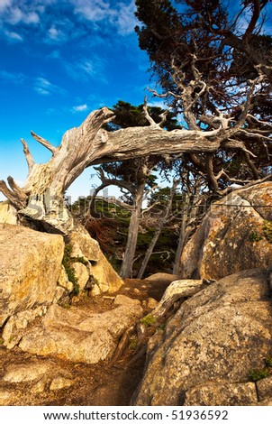 An old cypress distorted by the wind curves over a rocky path