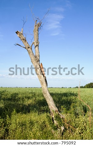 An old dead tree in a field on the prairie.