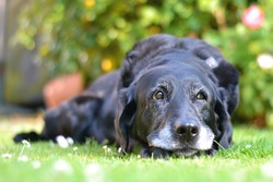An old dog contemplating life on the lawn.