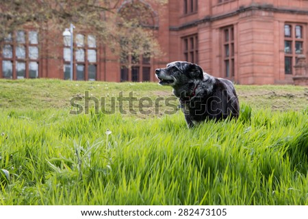 An old dog is enjoying a walk in the grass.