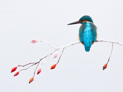 An old dream came true when I photographed this kingfisher in a snowy setting.