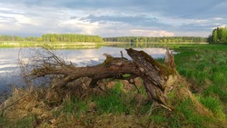 An old dry tree lies on the grassy bank of the river. The cloudy sky is reflected in the calm water. On the opposite bank there is a forest.