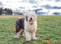 An old English sheepdog playing at the park