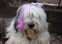 An Old English sheepdog wearing a fairy hair clip bow