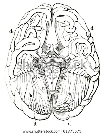 "An old engraving of the human brain. The human brain in section. The book ""Natur und Offenbarung"" 1861. Volume 7."