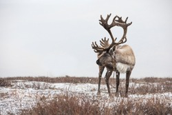An old male reindeer with magnificent antlers in a heavy snow storm. Khuvsgul, Mongolia.