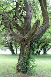 An old mulberry tree with climbing vines