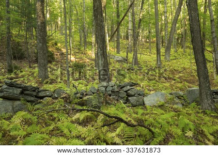 An old New England stone wall winds through an open hardwood forest of deciduous trees, with hay scented fern understory, in Vernon, Connecticut.