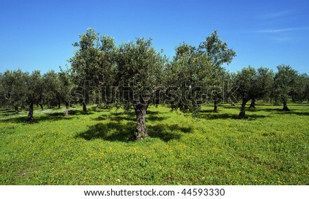 An old olive grove in Sicily