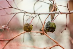 An old rotten apple hanging on a branch with a dried up leaf on a late autumn day. Apple tree without leaves and with fruit in winter. Seasonal natural scene.
