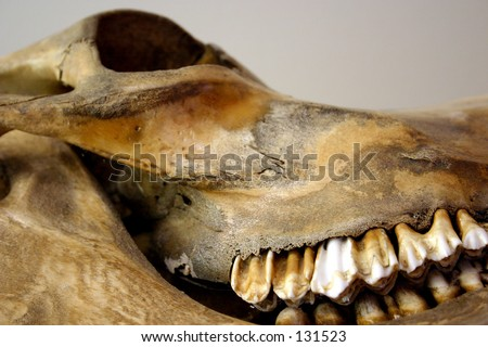 An old skull of a cow, coloured by age and who-knows-what else.
