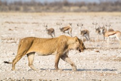 An old, starving female lion, probably on her way to die, Etosha National Park, Namibia, Africa.