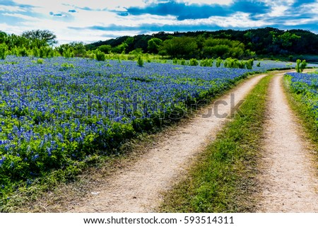 An Old Texas Country Dirt Road in a Field Full of the Famous Texas Bluebonnet (Lupinus texensis) Wildflowers.  An Amazing Display at Muleshoe Bend in Texas.