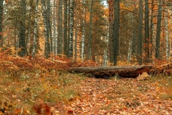 An old tree blocked the road in the forest. Autumn landscape with colorful fall foliage trees. Beautiful autumn trail.