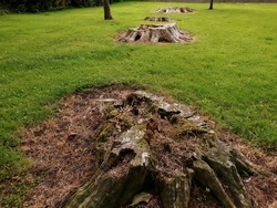 An old tree stumps on the green grass in local park. Closeup view of the first stump from above. Other stumps visible in the background.