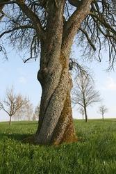 An old walnut tree with beautiful twisting trunk