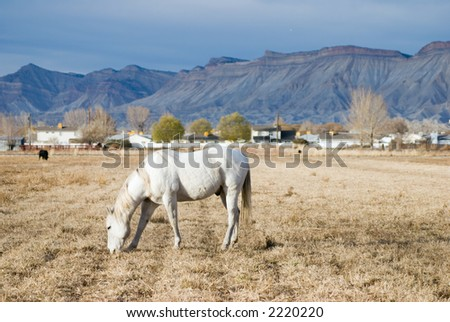 An old white horse in a field of autumn stubble with a housing development in the distance