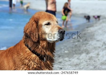 An Older Golden Retriever Enjoying the Sun at the Beach