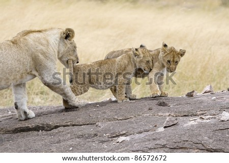 An older lion cub plays with the younger cubs in the Masai Mara. - stock photo