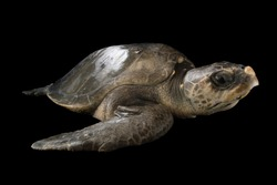 An olive ridley sea turtle and black background