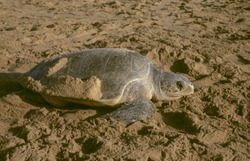 An Olive Ridley Sea turtle (female) that has come for nesting on Rushikulya beach, Ganjam dist. of Orissa, India