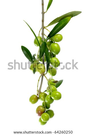an olive tree branch isolated on a white background