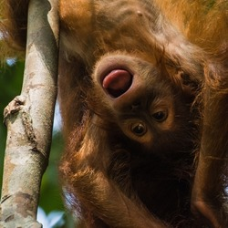 An orang-utan baby hanging headfirst from a tree in the jungle of Sumatra. Photo taken on a jungle trek near Bukit Lawang